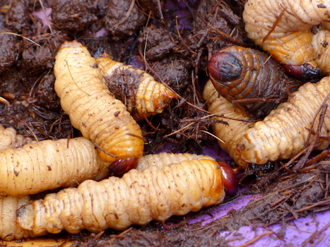 Congo : N'arrêtez pas de manger des insectes! | Entomophagy: Edible Insects and the Future of Food | Scoop.it