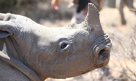 Police pursue rhino horn thieves - Eyewitness News | Kruger & African Wildlife | Scoop.it