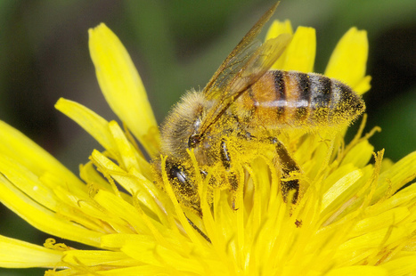 Les abeilles disparaissent, mais les pesticides survivent - zegreenweb | maladie de crohn | Scoop.it