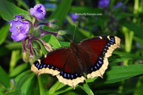 Mourning Cloak Butterfly | Annie Haven | Haven Brand | Scoop.it