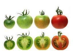 Pourquoi les tomates n'ont plus de goût ? | Equitable & durable | Scoop.it