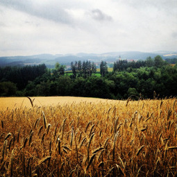 Wheat experts warn on global warming impacts | GarryRogers Biosphere News | Scoop.it