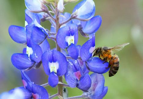 Harvard Study Advances Knowledge Of Colony Collapse Disorder, Honeybee Die-Off | Les abeilles ont droit à un futur | Scoop.it