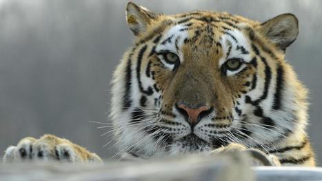 VIDEO. Les images rares de tigres de Sibérie en pleine nature | L'AS DE COEUR | Scoop.it