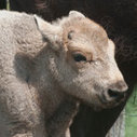 White Bison Is Born In A Connecticut Farm | Learning, Teaching & Leading Today | Scoop.it