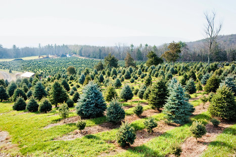 Phytophthora root rot in the NY Times: Building a Better Christmas Tree (2012) | Emerging Research in Plant Cell Biology | Scoop.it