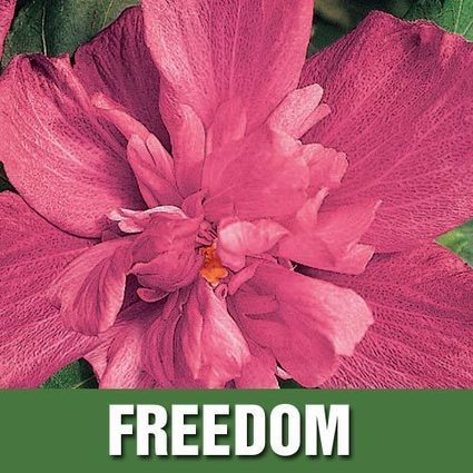 Hardy Hibiscus Collection | My Garden- Spring Hill Nursery | Scoop.it