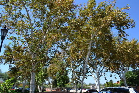 Why sycamore trees are looking bad | Arizona Daily Star | CALS in the News | Scoop.it