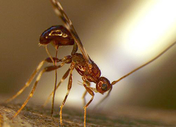 USDA to Release Russian Wasps Against the Emerald Ash Borer | Pest Alerts | Scoop.it