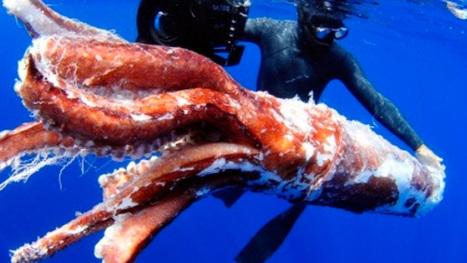 Diseña INAPESCA nuevo prototipo de arte de pesca para calamar gigante | AQUACULTURE IN MEXICO AND WORLD | Scoop.it