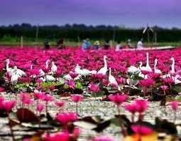The First Ramsar Site of Thailand – Thale Noi Waterfowl Park | Beautiful Landscapes in Thailand | Scoop.it