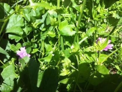 12 plantes sauvages à cuisiner   pour mon jardin   Scoop.it