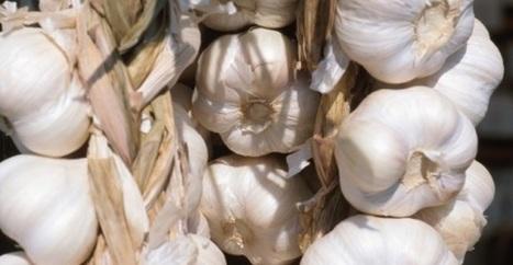 Fare orto in balcone o terrazzo: Come coltivare l'aglio in balcone   Come fare l'orto in balcone o terrazzo, consigli e idee   Scoop.it