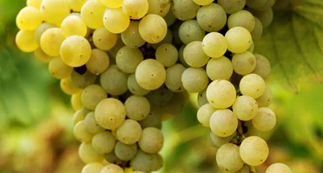 Pecorino First of 4 Hot Italian Grapes To Try Right Now according to FORBES | Wines and People | Scoop.it