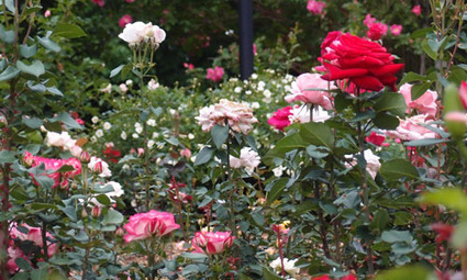 Creating A Rose Garden With Diane Sommers | Gaga's Garden | Rose gardening for everyone | Scoop.it