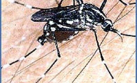 Ya se observan resultados tras liberación de Mosquitos Transgénicos - Día a día | Alimentos y Tecnología | Scoop.it