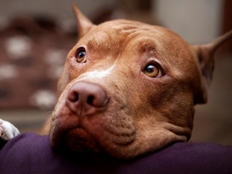 Montréal interdit les pitbulls ! | Modern dog training methods and dog behavior | Scoop.it