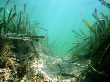 Innovative Solution of #BlueCarbon Helps #Ocean Wildlife - NatGeo ~ #seagrasses #tidalmarshes #mangroves | Rescue our Ocean's & it's species from Man's Pollution! | Scoop.it
