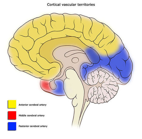 Sex-Specific Changes in Cerebral Blood Flow Begin at Puberty | Neurology and Psychology | Scoop.it