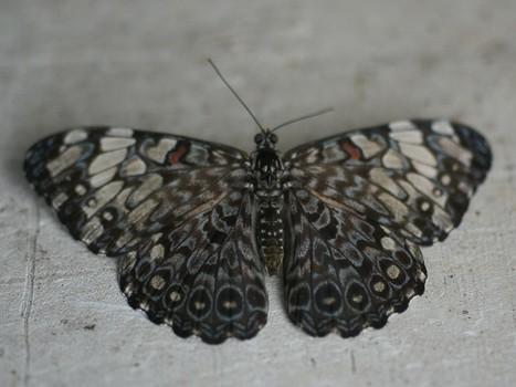Photo de papillon : Craqueur gris - Hamadryas februa - Gray Cracker - Februa Cracker - Serre à papillons | Fauna Free Pics - Public Domain - Photos gratuites d'animaux | Scoop.it