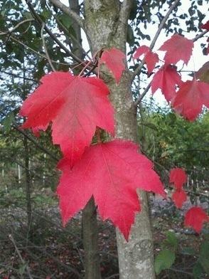 224458_2438333453637_1332404759_n+Red+maple+leaf.jpg (346x461 pixels) | What's Growing On | Scoop.it