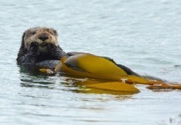 How Much Would Sea Otters Fetch On The Carbon Market? | Sustain Our Earth | Scoop.it