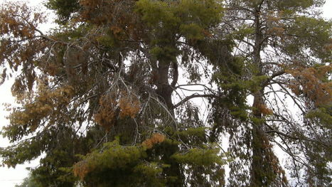 Dropped needles show trees suffering from drought | CALS in the News | Scoop.it