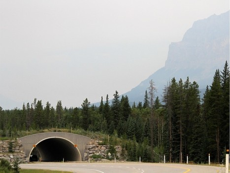 How do the animals cross the road in Banff National Park? | Lorraine's Environmental Change &  Management | Scoop.it