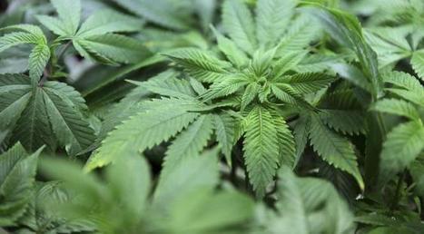 Cannabis, l'étude choc: la déplaisante vérité sur les effets de la consommation récurrente de pétards   Nature & Health   Scoop.it
