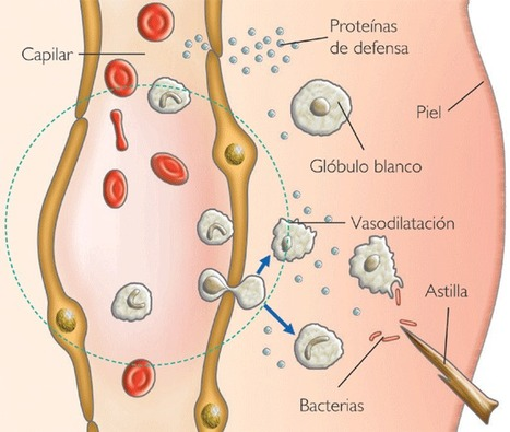 Inflamación | Funciones de Macrófagos, neutrófilos, eosinófilos, basófilos y celulas cebadas | Scoop.it