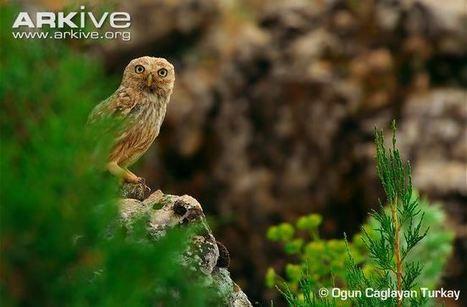 Little owl videos, photos and facts - Athene noctua | ARKive | APOIO AO ESTUDO | Scoop.it
