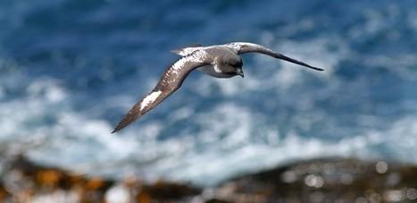 Blog officiel du district de Crozet - #TAAF : Faisons connaissance avec...le #Damier du Cap #oiseau | Arctique et Antarctique | Scoop.it