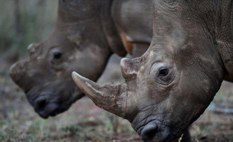 'Police planted rhino horn' | Kruger & African Wildlife | Scoop.it