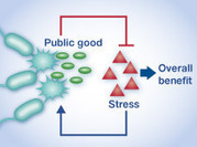 *Programming stress-induced altruistic death in engineered bacteria* | SynBioFromLeukipposInstitute | Scoop.it