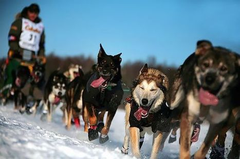 Climate Change Turns Famed Dog Sled Race to Mush | GarryRogers Biosphere News | Scoop.it