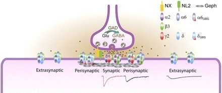 How the GABA Receptor Finds Its Way | Neuroscience_topics | Scoop.it