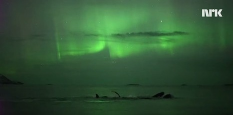 Photographer Accidentally Captures Footage of Whales Swimming Under Northern Lights | Arte y Cultura en circulación | Scoop.it