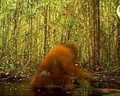 Why did the orangutan come down from the trees? | Sustain Our Earth | Scoop.it