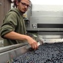2013 will be a record harvest for Washington wine | Autour du vin | Scoop.it