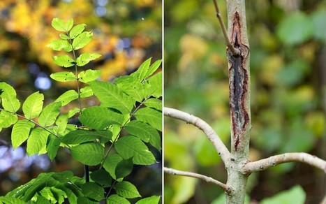 BBSRC funded: Scientists move closer to ash tree resistant to dieback  - Telegraph   BIOSCIENCE NEWS   Scoop.it