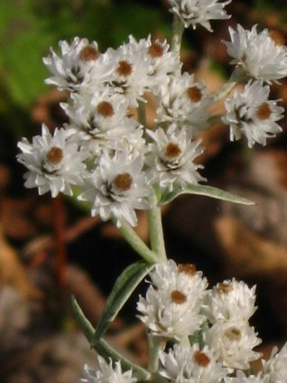Falling for Favorite Natives-Part 2 | Native Plants | Scoop.it