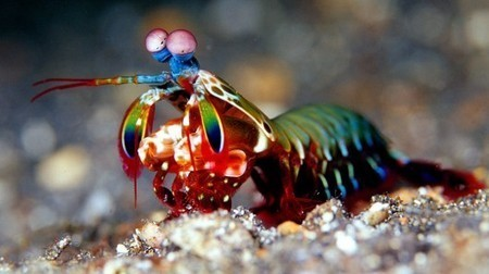 Why the mantis shrimp is awesome.   Bio Means Life   Scoop.it