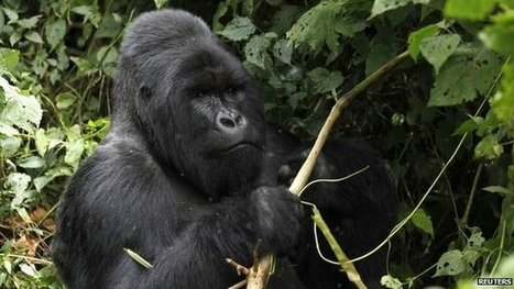 DR Congo seeks gorilla park change | Interesting Science News | Scoop.it