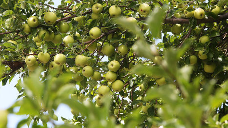 Bumper apple crop due to warmer April | CALS in the News | Scoop.it