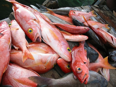 INDIA: Bumper harvest of red snapper fish | Fishing | Scoop.it