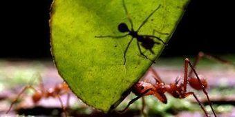 Des fourmis-zombies découvertes au Brésil | EntomoNews | Scoop.it