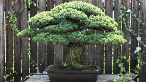 The astonishing 390-year old bonsai tree that survived the Hiroshima atomic blast | Organic Farming | Scoop.it