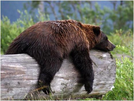 Grizzly research offers surprising insights into diabetes-obesity link | Sustain Our Earth | Scoop.it