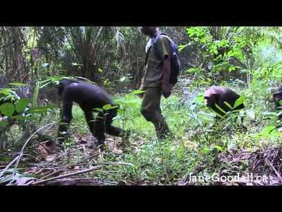 Happy Holidays from the Chimpanzees of the JGI's Tchimpounga Sanctuary - YouTube | Bring Africa Home | Scoop.it