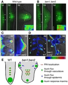 PLOS Genetics: Cell Polarity and Patterning by PIN Trafficking through Early Endosomal Compartments in Arabidopsis thaliana | Plant Gene Seeker -PGS | Scoop.it